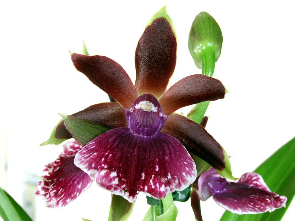 orchideen. Black Bedroom Furniture Sets. Home Design Ideas